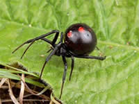 100% natural & organic black widow spider venom. Violent illness and death in just a few molecules