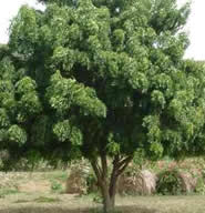 Neem tree. Now starving Indians can grow fruit instead